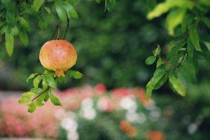 選擇有機栽種的石榴,安全又健康